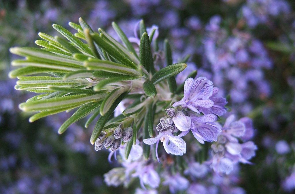 Rosemary Essential Oil Mini Class