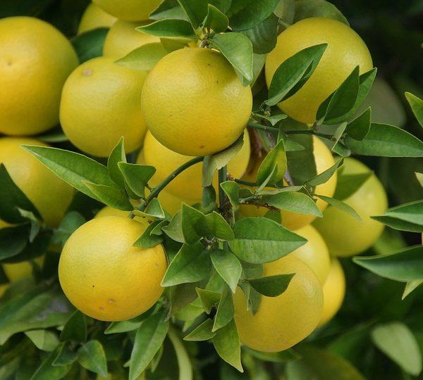 Grapefruit Essential Oil Mini Class